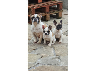 Frenchie 2 males available