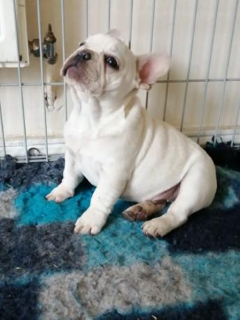 platinum-french-bulldog-male-dublin-big-1