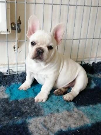 platinum-french-bulldog-male-dublin-big-0