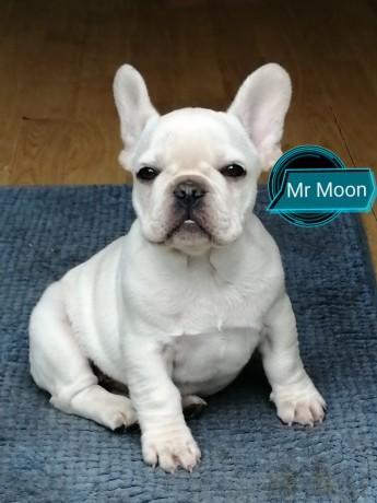 platinum-french-bulldog-male-dublin-big-2