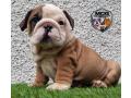 british-bulldog-puppies-small-0