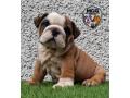 british-bulldog-puppies-small-1