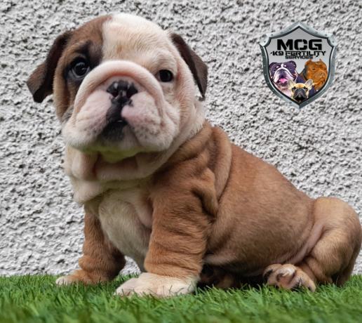british-bulldog-puppies-big-0