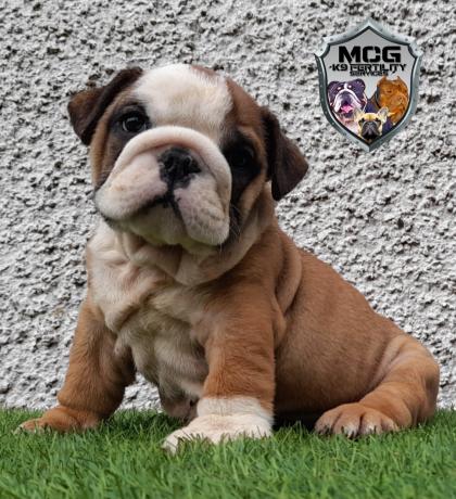 british-bulldog-puppies-big-1