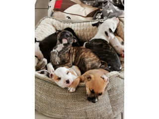 Bully pups looking for forever homes