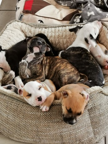 bully-pups-looking-for-forever-homes-big-0