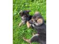 german-shepherd-pups-small-3