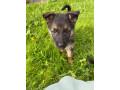 german-shepherd-pups-small-4