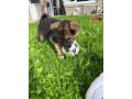german-shepherd-pups-small-1