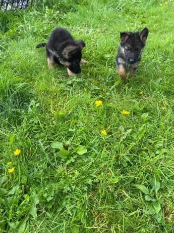 german-shepherd-pups-big-0