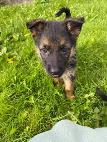 german-shepherd-pups-big-4