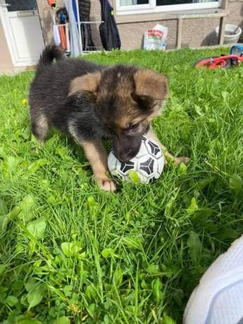 german-shepherd-pups-big-1