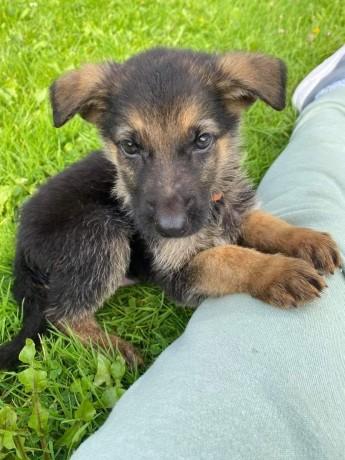 german-shepherd-pups-big-2