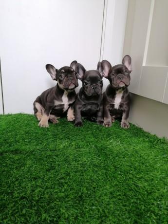 french-bulldog-males-and-females-big-3