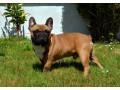 french-bulldog-puppies-small-4