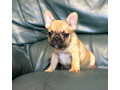 french-bulldog-puppies-small-1