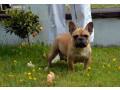 french-bulldog-puppies-small-2