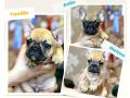 french-bulldog-puppies-small-0