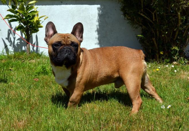 french-bulldog-puppies-big-4