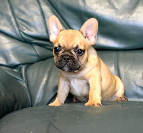 french-bulldog-puppies-big-1