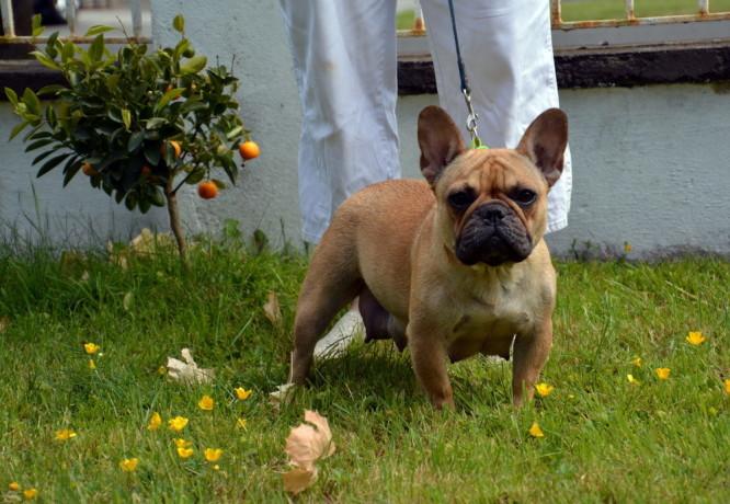 french-bulldog-puppies-big-2