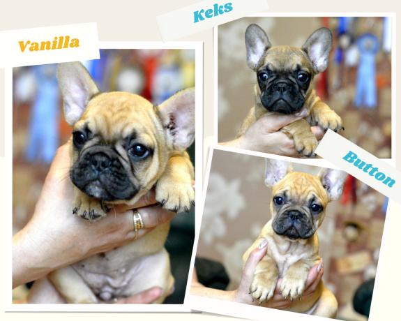 french-bulldog-puppies-big-0