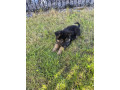 german-shepherd-pups-small-0